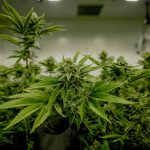 Indoor Cannabis Growers